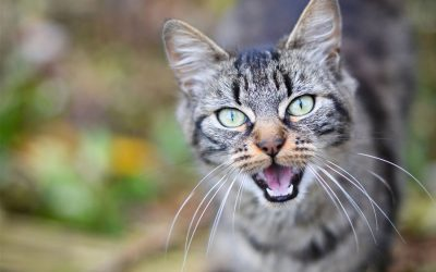 5 Cat Sounds and What They Mean